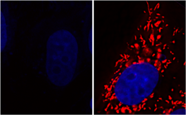 Functioning power plants of the cell are colored red, the DNA blue. If the gene DJ-1 is switched off, the mitochondria are activated (left), glycolate or D-lactate are added, they become fully functional again (right). Source: MPI-CBG